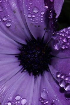 Purple flower with dew drops on it's petals. Purple Love, All Things Purple, Purple Lilac, Shades Of Purple, Deep Purple, Purple And Black, Purple Stuff, Light Purple, Magenta