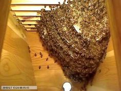 """Awe inspiring high speed video of the hive the first three months inside a new top bar. Top Bar Hive, Buzz Bee, Bees And Wasps, Science Videos, Bee Friendly, Bee Art, Bugs And Insects, Brain Breaks, Save The Bees"