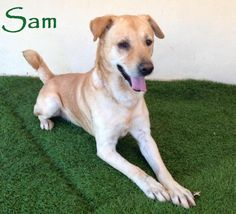 Sam is an adoptable Yellow Labrador Retriever searching for a forever family near San Diego, CA. Use Petfinder to find adoptable pets in your area.