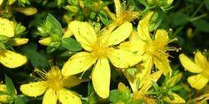 Sarı Kantaronun Faydaları Midede oluşan yanmalara ve sancılara karşı iyi gelir. Depresyona karşı rahatlatıcı özelliği vardır. Uyku sorunu olanlara iyi gelir. Devamı için..http://bitkiyografi.com/sari-kantaronun-faydalari/