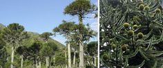 """Endangered tree - monkey puzzle tree... got the name when someone made the comment """"it would puzzle a monkey to climb it"""" native to chili"""