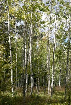 Populus tremuloides - Quaking Aspen, Trembling Aspen, Trembling Poplar, American Aspen, Golden Aspen. The starchy inner bark and the bitter-tasting catkins are edible and were a food source for Native Americans.