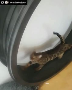 From @jenniferostero  ・・・ FitzRoy loves zip-ties. He goes bananas for them. Run it off, Fitz, run it off! #Bengal #Kitten #CatsOfInstagram #KittensOfInstagram #ig_bengals #HouseLeopard #CraCraKitteh #BelgoBengals @one_fast_cat #onefastcat  Check out the Cat Exercise Wheel: http://onefastcat.com