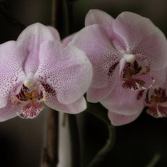 Three little orchids