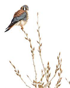 'American Kestrel' - photo by Randall Roberts;  2011 Audubon Magazine Photography Awards: Top 100