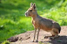 Es uno de los roedores más grandes del mundo. Es como un conejo de orejas cortas y de patas traseras musculosas con las que da grandes saltos.