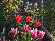 April 6, 2012 Flower of the Day: Aladdin & Turkish Tulips... It's Good Friday.... Wishing you a blessed day!