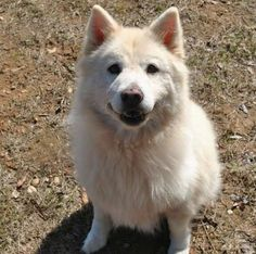 4/29/16 Meet Cora, an adoptable Samoyed looking for a forever home. If you're looking for a new pet to adopt or want information on how to get involved with adoptable pets, Petfinder.com is a great resource.