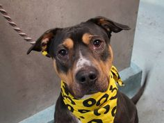 GONE --- TO BE DESTROYED - 10/07/14 Brooklyn Center  My name is BROOKLYN. My Animal ID # is A1015747. I am a neutered male black and brown pit bull mix. The shelter thinks I am about 4 YEARS old.  I came in the shelter as a OWNER SUR on 09/29/2014 from NY 11413, owner surrender reason stated was PERS PROB.  https://www.facebook.com/photo.php?fbid=882298121783068
