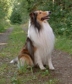 "Rough Collie...such a noble dog...one day I shall own a collie and call him ""Shep""...or if it is a her, ""Bess"" <3"
