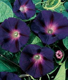 Along with Heavenly Blue, this is the classic morning glory! Vines are extremely vigorous, up to 15 ft., and are literally covered with small, dark purple-blue flowers up to 3 Pretty Flowers, Plants, Morning Glory Flowers, Black Flowers, Beautiful Flowers, Perennials, Garden Vines, Annual Flowers, Flower Seeds