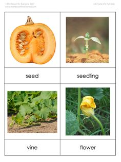 Great set of resources for studying the life cycle of a pumpkin.