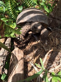 Gopher tortoise. Back yard garden visitor here in Florida
