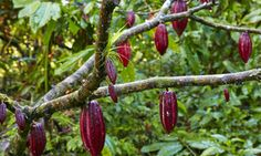 How Cocoa Beans Grow And Are Harvested Into Chocolate Chocolate Tree, Chocolate Liquor, Cocoa Plant, Cacao Fruit, Coffee Machines For Sale, Fair Trade Chocolate, Cheap Coffee, How To Order Coffee, Cocoa Nibs
