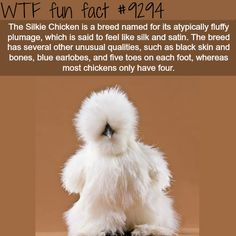 WTF Fun Facts is updated daily with interesting & funny random facts. We post about health, celebs/people, places, animals, history information and much more. New facts all day - every day! Silkie Chickens, Cute Chickens, Raising Chickens, Chickens Backyard, Silkie Hen, Fun Facts About Animals, Animal Facts, Animal Memes, Funny Animals
