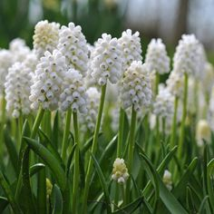 Muscari White Magic - die wohl beste weiße Traubenhyazinthe für den Garten. Genau wie die blauen Muscari wird sie im Herbst als Blumenzwiebel gepflanzt. Erhältlich im Onlineshop www.fluwel.de