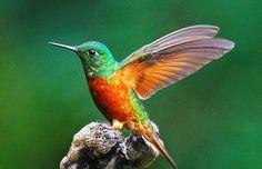 La similitud de la eficiencia aerodinámica de colibríes y ...