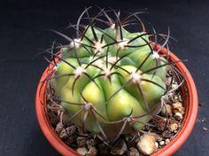 Copiapoa magnifica f. variegata