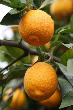 Resultado de imagem para citrus