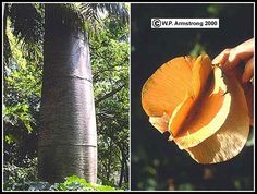 Wind Dispersal Of Seeds. The quipo tree (Cavanillesia platanifolia), a remarkable rain forest tree in the bombax family (Bombacaceae) with huge winged fruits. This massive tree is native to Panama.