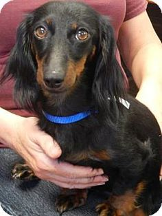 The Dalles, OR - Dachshund Mix. Meet Mercy, a dog for adoption. http://www.adoptapet.com/pet/13290277-the-dalles-oregon-dachshund-mix