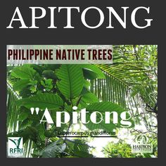 """APITONG (Dipterocarpus grandiflorus) This native tree is commonly used by communities to in watersheds for erosion control. Varnish, adhesive, production and waterproofing of paper are some of the products of this tree. According to the IUCN Red List, Apitong is crtically endangered due to logging.  """"Protect our trees, our forests- our source of life!"""" #PhilippineNativeTrees #NativeTrees #Rainforestation #ForestProtection  April 4, 2016 Bike Work Stand, Trees To Plant, Plant Leaves, Forest Plants, Erosion Control, Wood Tree, Flowering Trees, Forests, Botany"""