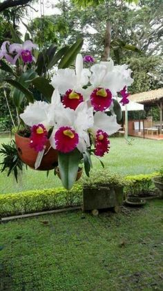 Cattleya Hybrid Orchid-Learn How Much Light, Water, And Food A Cattleya Orchid Needs From Ask Judy, Tropical Flowers, Exotic Flowers, Amazing Flowers, Beautiful Flowers, Orchids Garden, Orchid Plants, Exotic Plants, Orquideas Cymbidium, Rare Orchids
