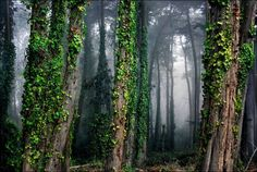 """""""Cypress Forest"""" by Jody Miller, Los Angeles // A foggy morning in San Francisco's Presidio. // Imagekind.com -- Buy stunning, museum-quality fine art prints, framed prints, and canvas prints directly from independent working artists and photographers."""