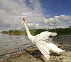 Swan ruffling his feathers