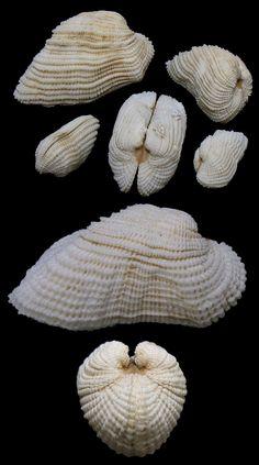 Acar domingensis (Lamarck, 1819) White Miniature Ark