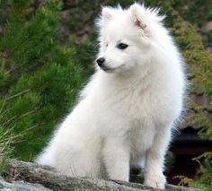 Japanese Spitz named Coju Samoyed Dogs, Pet Dogs, Dog Cat, Doggies, Japanese Spitz Puppy, American Eskimo Puppy, Cute Puppies, Dogs And Puppies, Spitz Pomeranian