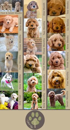 doodle dog Amazing resource about goldendoodle growth and pictures of different goldendoodles from puppies to adults. You need to check this out! Goldendoodle Full Grown, Goldendoodle Haircuts, Goldendoodle Grooming, Mini Goldendoodle Puppies, Goldendoodles, Standard Goldendoodle, Goldendoodle Miniature, Dog Haircuts, Poodle Grooming