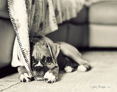 You will never have a better breed of dog than the Boxer! Our boxer has brought so much joy into our lives!