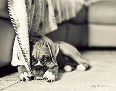 Bashful baby boxer.  Awww.