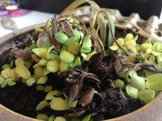 Growing zinnias Zinnias, Planting Seeds, Growing Plants, Fruit, Garden, Food, Garten, Lawn And Garden, Essen