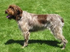 Wirehaired Pointing Griffon : information, care, health problems & other facts for of Wirehaired Pointing Griffon available here. Know how to groom your pet Wirehaired Pointing Griffon in a better way. Whoodle Puppies For Sale, Whoodle Puppy, Wirehaired Pointing Griffon, Griffon Dog, Braque Du Bourbonnais, Pet Dogs, Dogs And Puppies, Doggies, Hypoallergenic Dog Breed