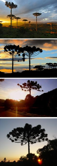 Araucária, árvore do sul do Brasil