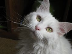 white maine coon cat 5 Funny Cat Wallpapers