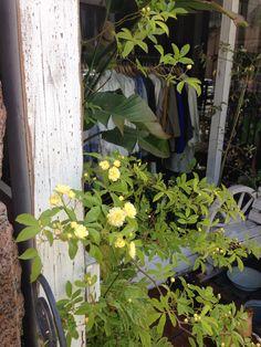 モッコウバラが咲き始めました。