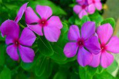 I uploaded new artwork to fineartamerica.com! - 'Purple Periwinkle Flower 2' - http://fineartamerica.com/featured/purple-periwinkle-flower-2-lanjee-chee.html