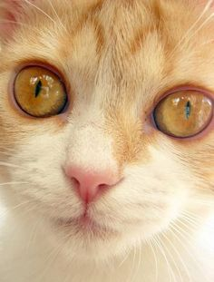 Thinking my next feline might be an orange tabby. Cute Kittens, Cats And Kittens, Crazy Cat Lady, Crazy Cats, Big Cats, Pretty Cats, Beautiful Cats, Orange Cats, Tier Fotos