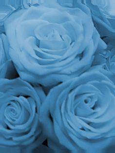 Pretty powder blue roses