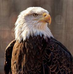#eagle #bird