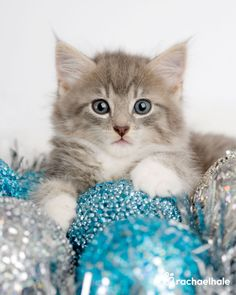 Belle (Siberian x) - The Christmas Belle of them all (pic by Rachael Hale)