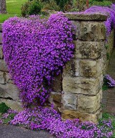 Purple Rock Wart