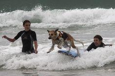 Un chien surfe lors de la compétition de surf canin, en septembre 2014. © Daniel Velez/ AFP France 4, Competition, Corgi, Animals, French, Sports, Surfing, Pets, Hobbies