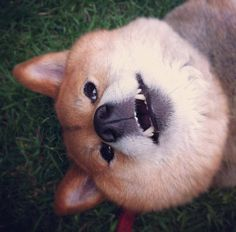 Wow doge is derping :O very derp, much doge Shiba Inu Doge, Wow 3, Derp, Fox, Animals, Animales, Animaux, Animal, Animais