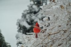 Christmas morning 2013 - Cardinal in the ice