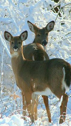Magical Whitetail winter.