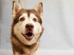 ♡ SAFE ♡ SWIPPER – A1107337  MALE, RED / WHITE, ALASKAN HUSKY MIX, 7 yrs OWNER SUR – EVALUATE, HOLD RELEASED Reason NO TIME Intake condition UNSPECIFIE Intake Date 05/06/2017, From NY 10455, DueOut Date 05/06/2017